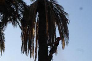 Broyage de palmier avec charançon rouge en région PACA