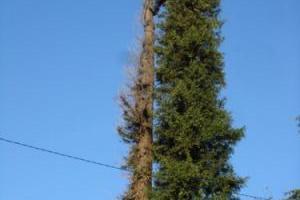 abattage06 d'un sequoia mort de 30metres sur cannes